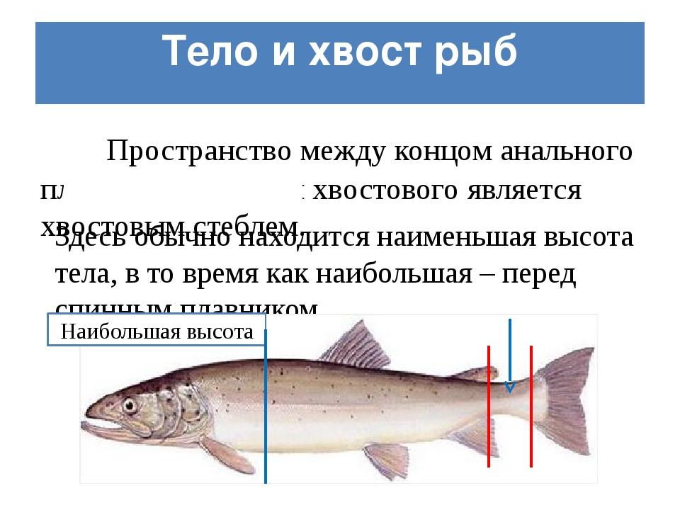 Тело и хвост рыб Пространство между концом анального плавника и началом хвост...