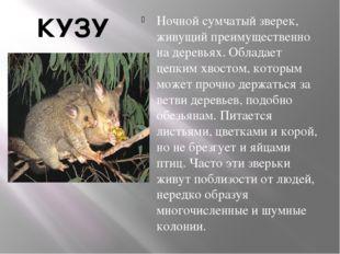 КУЗУ Ночной сумчатый зверек, живущий преимущественно на деревьях. Обладает це