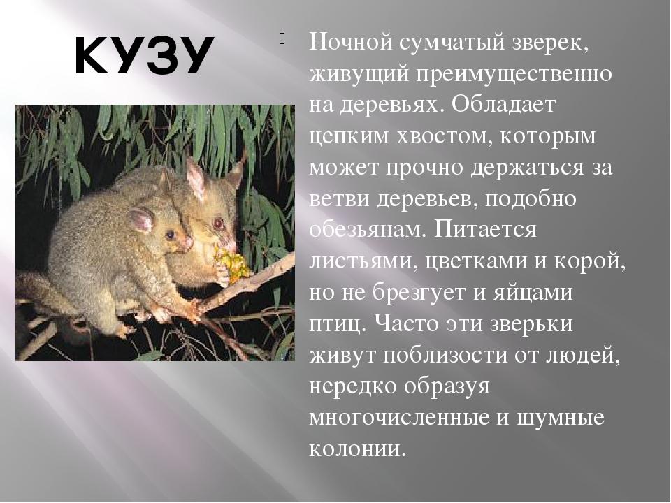 КУЗУ Ночной сумчатый зверек, живущий преимущественно на деревьях. Обладает це...
