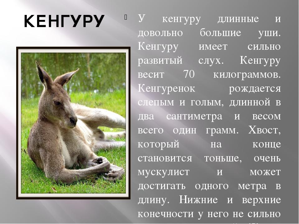 КЕНГУРУ У кенгуру длинные и довольно большие уши. Кенгуру имеет сильно развит...