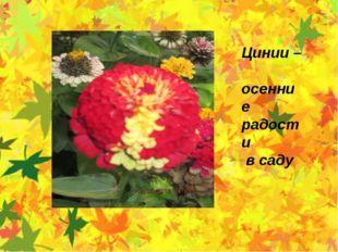 Цинии – осенние радости в саду