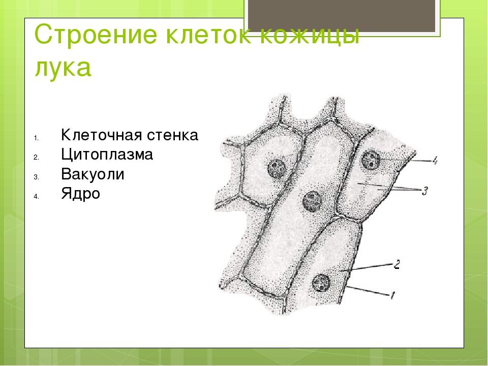 Строение клеток кожицы лука Клеточная стенка Цитоплазма Вакуоли Ядро