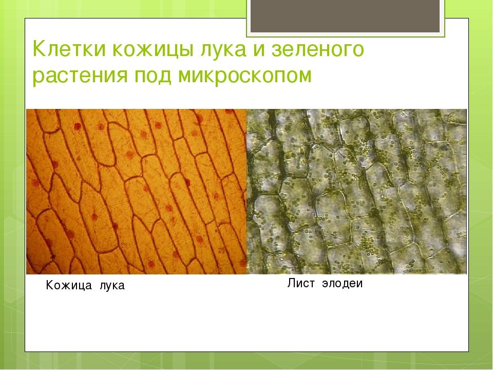 Клетки кожицы лука и зеленого растения под микроскопом Кожица лука Лист элодеи