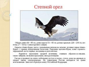 Степной орел Общая длина 60—85см, длина крыла 51—65см, размах крыльев 220—2