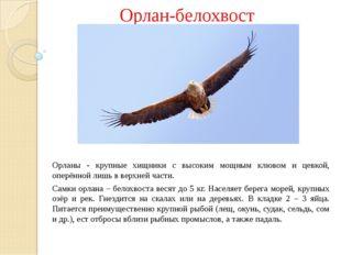 Орлан-белохвост Орланы - крупные хищники с высоким мощным клювом и цевкой, о