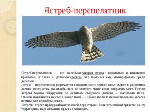 Ястреб-перепелятник Ястреб-перепелятник — это маленькаяхищная птицас коротк