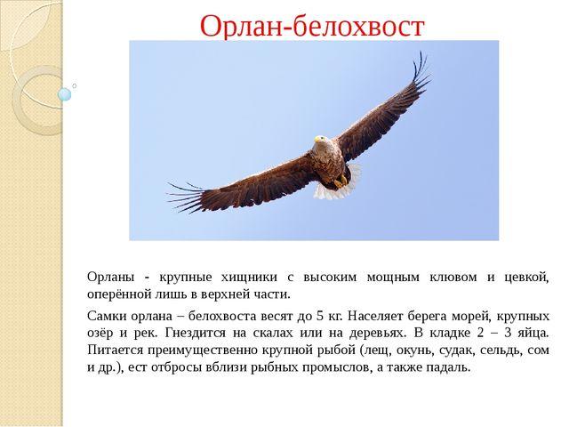 Орлан-белохвост Орланы - крупные хищники с высоким мощным клювом и цевкой, о...