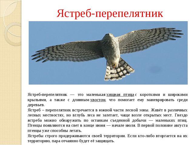 Ястреб-перепелятник Ястреб-перепелятник — это маленькаяхищная птицас коротк...