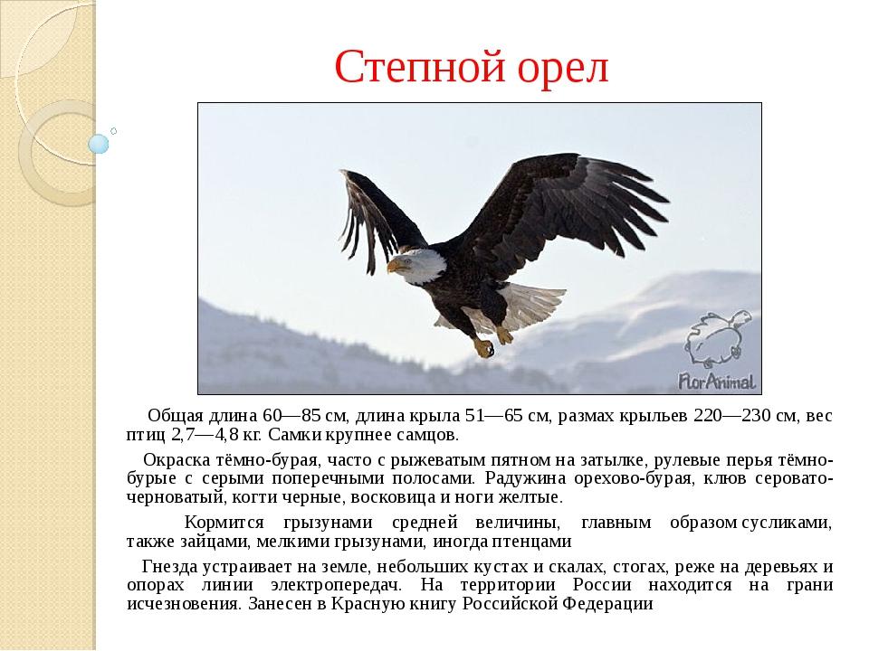 Степной орел Общая длина 60—85см, длина крыла 51—65см, размах крыльев 220—2...