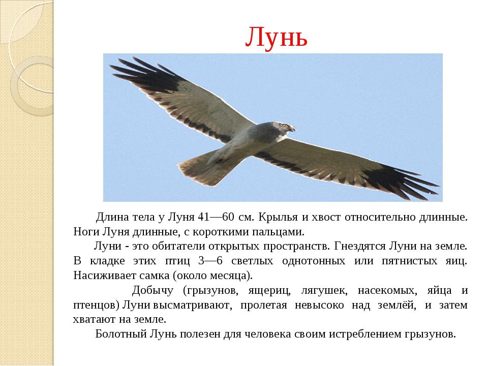 Лунь Длина тела уЛуня41—60 см. Крылья и хвост относительно длинные. НогиЛу...