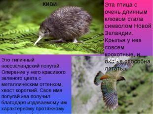 Эта птица с очень длинным клювом стала символом Новой Зеландии. Крылья у нее