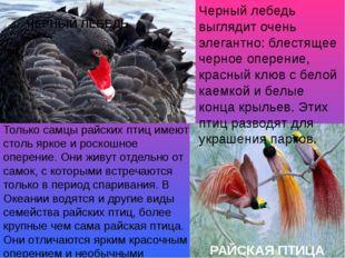 Черный лебедь выглядит очень элегантно: блестящее черное оперение, красный кл