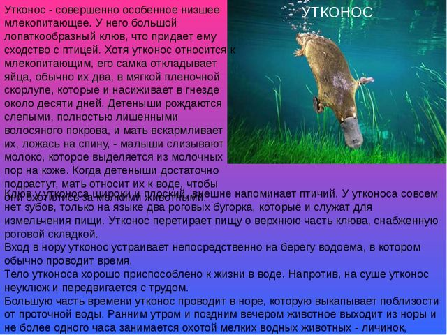 УТКОНОС Утконос - совершенно особенное низшее млекопитающее. У него большой л...