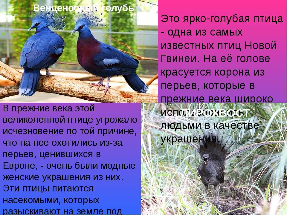 Это ярко-голубая птица - одна из самых известных птиц Новой Гвинеи. На её гол...