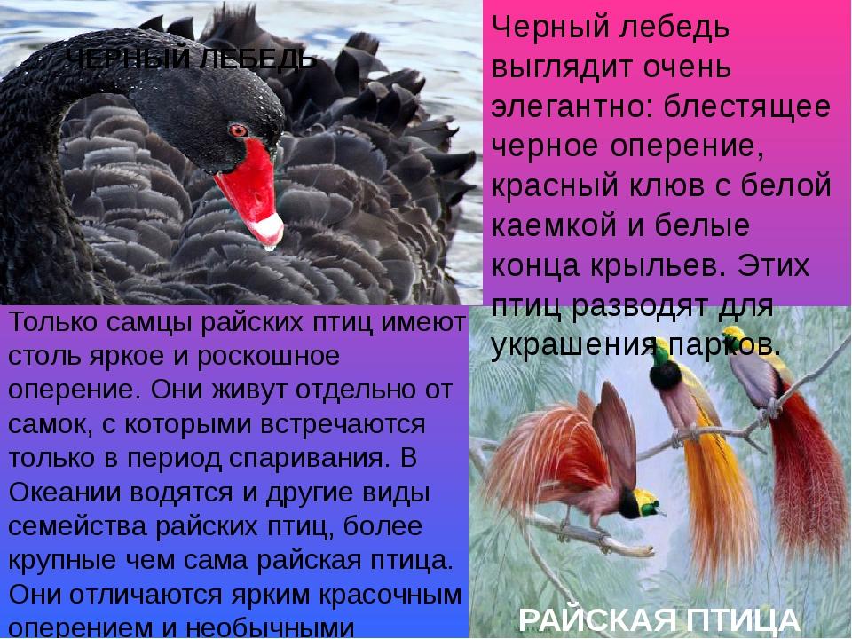 Черный лебедь выглядит очень элегантно: блестящее черное оперение, красный кл...