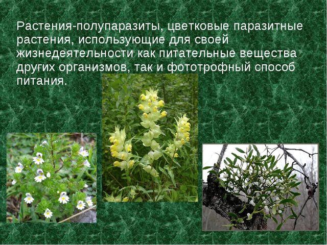 Растения-полупаразиты, цветковые паразитные растения, использующие для своей...