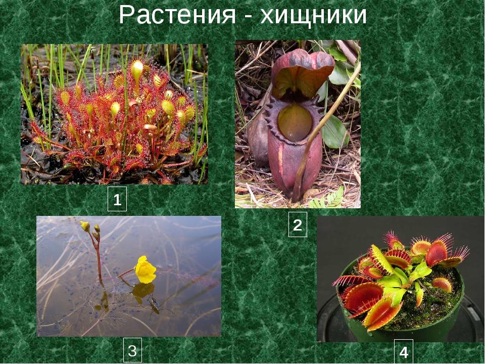Растения - хищники