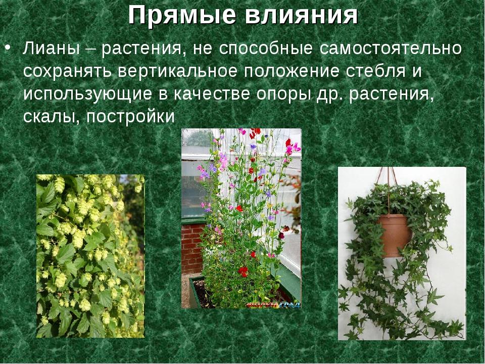 Прямые влияния Лианы – растения, не способные самостоятельно сохранять вертик...