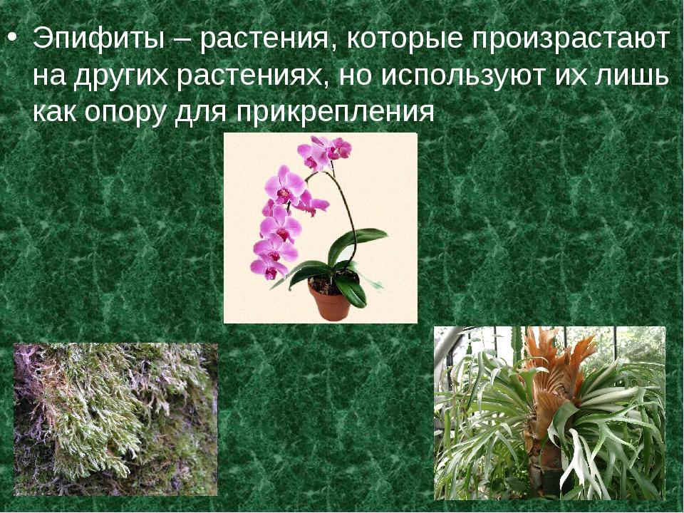 Эпифиты – растения, которые произрастают на других растениях, но используют и...