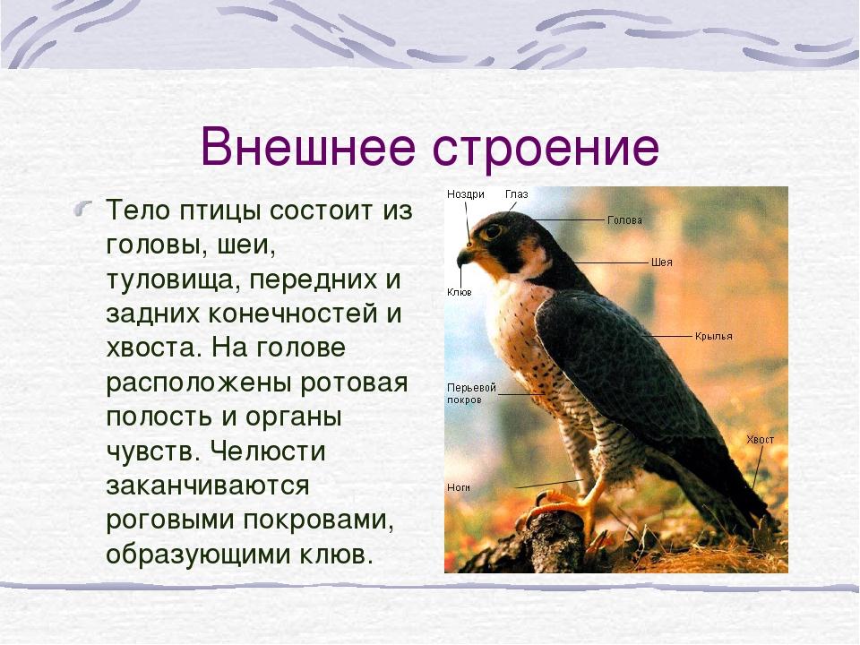 Внешнее строение Тело птицы состоит из головы, шеи, туловища, передних и задн...