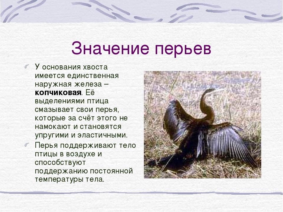 Значение перьев У основания хвоста имеется единственная наружная железа – коп...