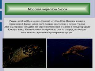 Морская черепаха бисса Размер от 60 до 80 см в длину. Средний от 40 до 60 кг