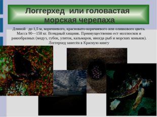 Логгерхед или головастая морская черепаха Длиной до 1,5м, коричневого, крас
