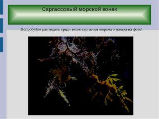 Саргассовый морской конек Попробуйте разглядеть среди веток саргассов морског