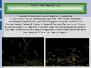 Европейский угорь Всемирную известность морю принесли не водоросли. В Саргасс