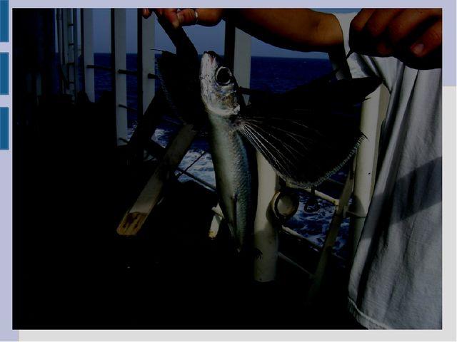 Летучие рыбы Особенностью рыб является необычно большие грудные плавники, поз...