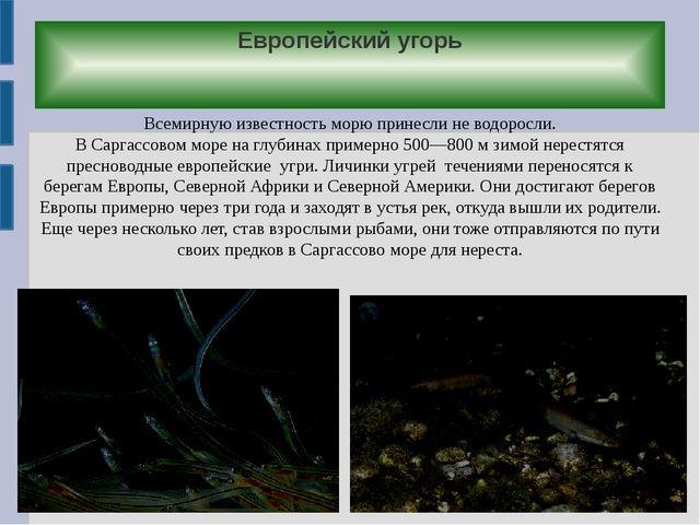 Европейский угорь Всемирную известность морю принесли не водоросли. В Саргасс...
