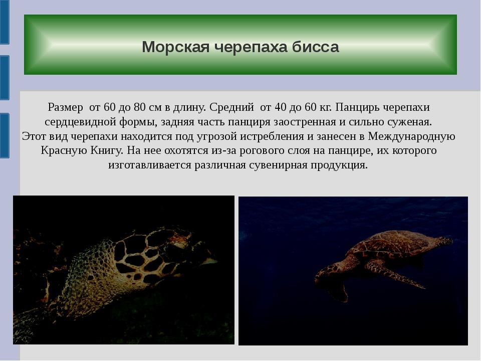 Морская черепаха бисса Размер от 60 до 80 см в длину. Средний от 40 до 60 кг...