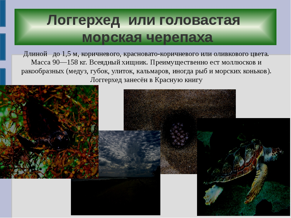 Логгерхед или головастая морская черепаха Длиной до 1,5м, коричневого, крас...