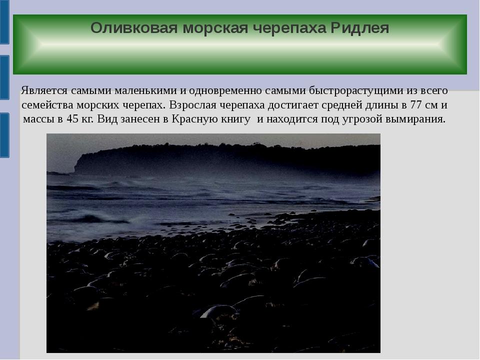 Оливковая морская черепаха Ридлея Является самыми маленькими и одновременно с...