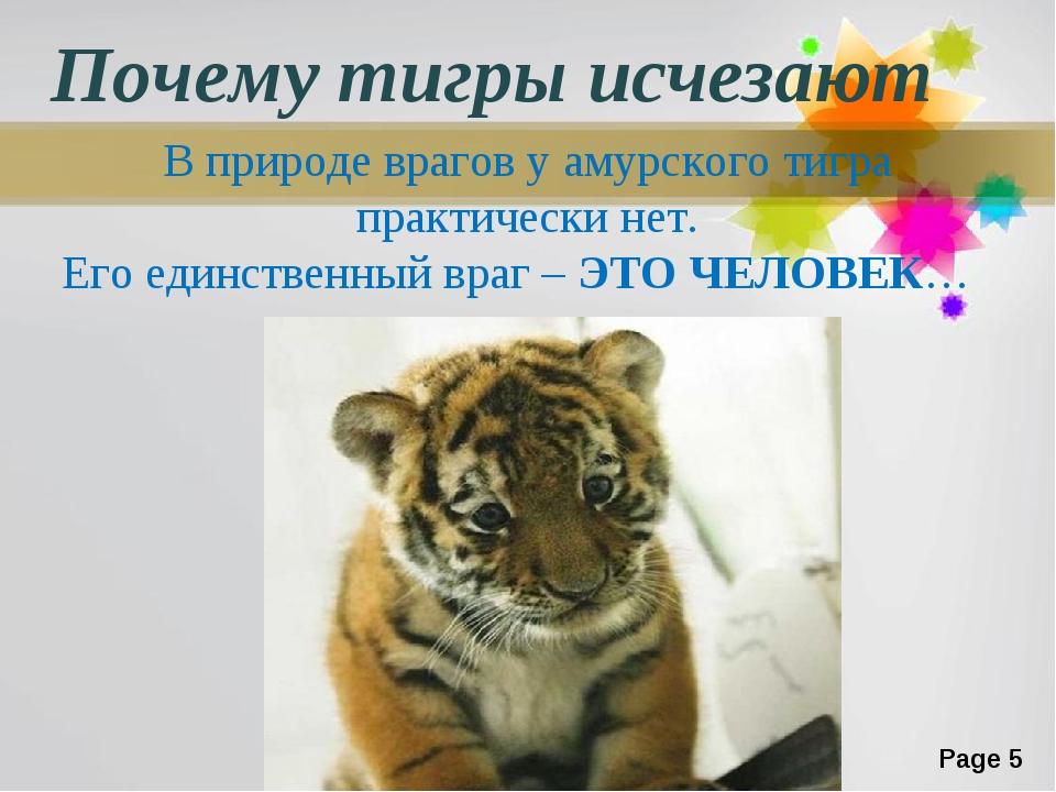 Почему тигры исчезают В природе врагов у амурского тигра практически нет. Его...