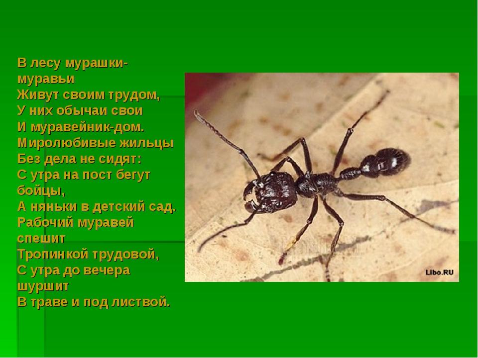 В лесу мурашки-муравьи Живут своим трудом, У них обычаи свои И муравейник-дом...