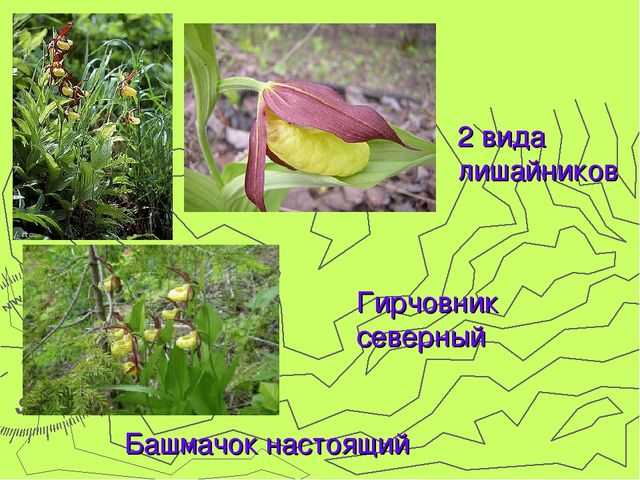 2 вида лишайников Гирчовник северный Башмачок настоящий