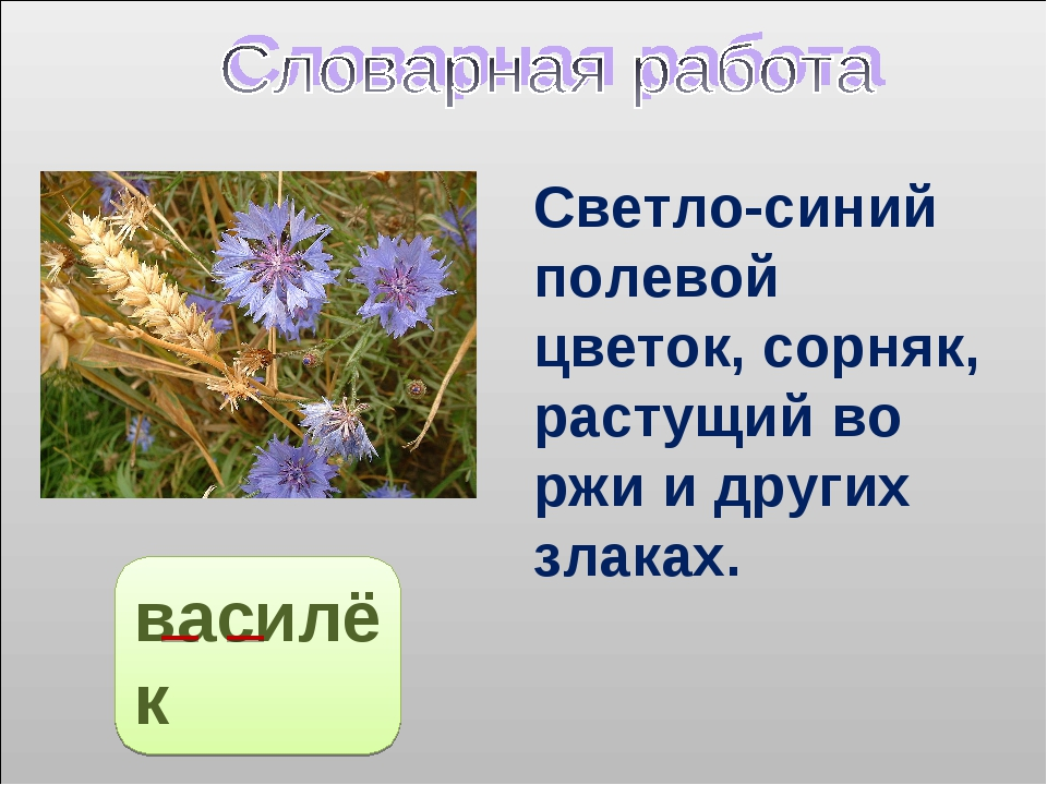василёк Светло-синий полевой цветок, сорняк, растущий во ржи и других злаках.