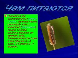 Питается как растительной (семена,ягоды, зеленые части растений), так и живо