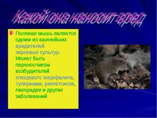 Полевая мышь является одним из важнейшихвредителейзерновых культур. Может б