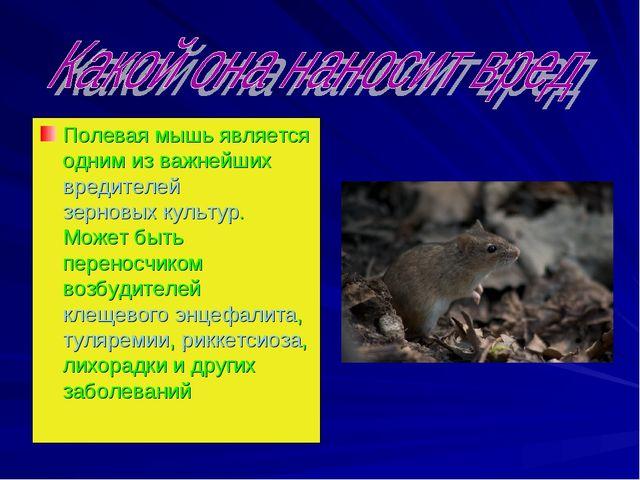 Полевая мышь является одним из важнейшихвредителейзерновых культур. Может б...
