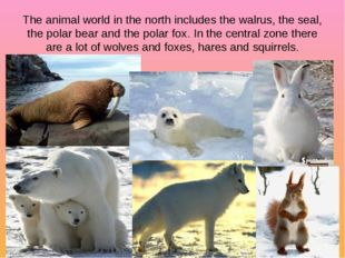 The animal world in the north includes the walrus, the seal, the polar bear a