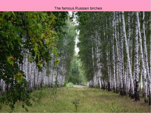The famous Russian birches