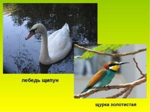 лебедь щипун щурка золотистая