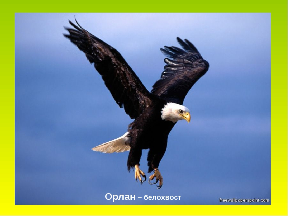 Орлан – белохвост