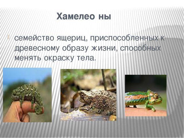 Хамелео́ны семействоящериц, приспособленных к древесному образу жизни, спо...