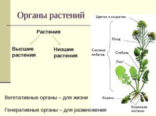 Органы растений Вегетативные органы – для жизни Генеративные органы – для раз