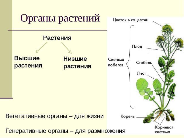 Органы растений Вегетативные органы – для жизни Генеративные органы – для раз...
