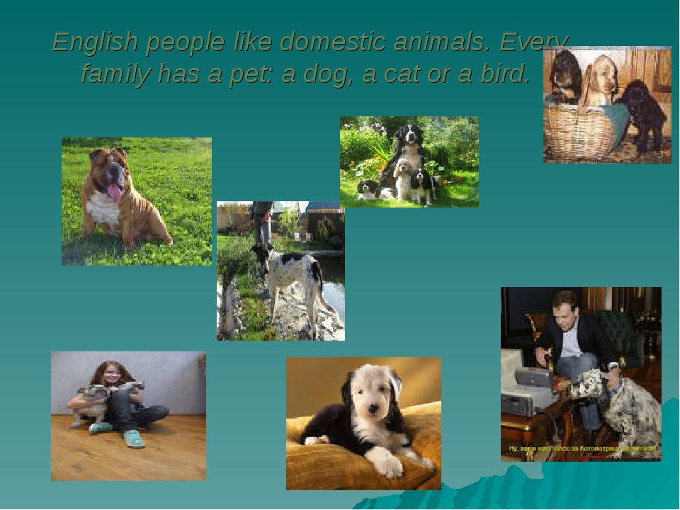 English people like domestic animals. Every family has a pet: a dog, a cat o...