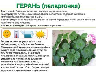 ГЕРАНЬ (пеларгония) Герань можно выращивать и на подоконнике, в саду или на б